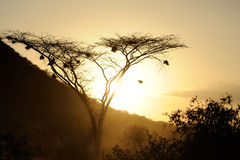 Sunset with African savanna trees Stock Images