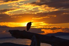 Sunset Alone. Blue heron sitting on driftwood alone at sunset. Victoria, BC, Canada Stock Images
