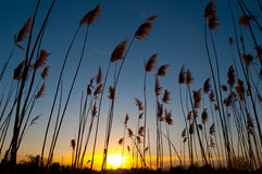 Sunset amongst reed Stock Image