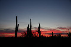 Sunset in Arizona's Wolf Moon. Arizona's January Wolf Moon with the Palo Verde and Saguaros as observers to the vibrant colors in the sky Stock Photos