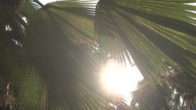 Sunset in asian park. Sun shining through green leaves of palm trees. Gentle breeze swings leaves. Sunset in asian park. Sun shining through big green leaves of stock footage