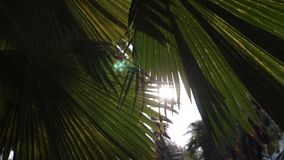 Sunset in asian park. Sun shining through green leaves of palm trees. Gentle breeze swings leaves. Sunset in asian park. Sun shining through big green leaves of stock video footage