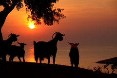 Sunset At Thassos And Goat Stock Photo