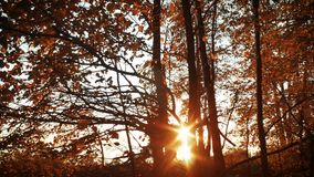 Sunset in autumn forest with Orange leaves and branches stock video