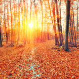 Sunset in the autumn forest Stock Photography