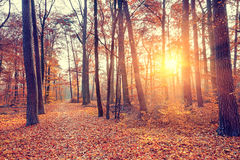 Sunset in the autumn forest Stock Image