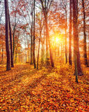 Sunset in the autumn forest Royalty Free Stock Photo