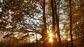 Sunset in autumn forest with yellow leaves and branches stock video