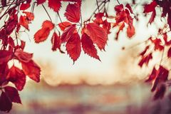 Sunset autumn nature background with hanging Virginia creeper royalty free stock image