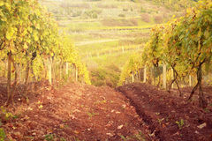 Sunset in autumn vineyard Stock Photo
