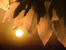 Sunset through autumnal leaves Royalty Free Stock Photography