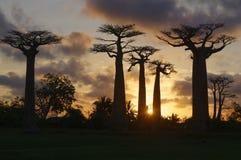 Avenue of the Baobabs at dusk - Morondava, Madagascar. Sunset on Avenue of the Baobabs at dusk - Morondava, Madagascar Stock Photo