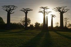 Avenue of the Baobabs at dusk - Morondava, Madagascar. Sunset on Avenue of the Baobabs at dusk - Morondava, Madagascar Stock Photos