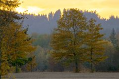 Oak Tree Autumn Sunset in Yellow. Sunset backlights a yellow Oak Tree in Autumn season Stock Images