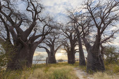 Sunset at Baines Baobabs Royalty Free Stock Photos