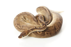 Sunset ball python Royalty Free Stock Photography