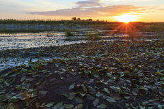 Sunset on the banks of overgrown swamp royalty free stock photo