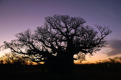 Sunset baobab. Big baobab tree during sunset Stock Images