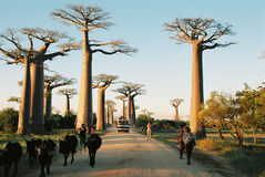Sunset at Baobab Avenue Stock Photography