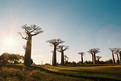 Sunset at Baobab Avenue. Near Morondova in Madagascar Royalty Free Stock Images