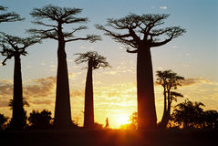 Sunset at Baobab Avenue. Near Morondova in Madagascar Royalty Free Stock Photo