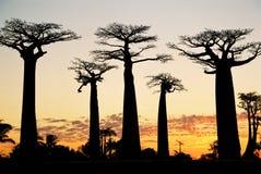 Sunset at Baobab Avenue. Near Morondova in Madagascar Stock Photography