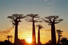 Sunset at Baobab Avenue. Near Morondova in Madagascar Royalty Free Stock Photography
