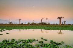 Sunset Baobab lake Stock Image