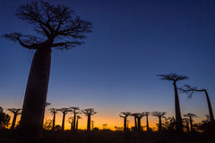Sunset on baobab trees Royalty Free Stock Photography