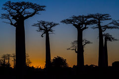 Sunset on baobab trees Stock Images