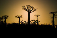 Sunset and baobabs trees. Madagascar Stock Photos