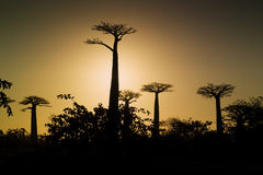 Sunset and baobabs trees. Madagascar Stock Image
