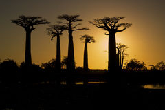 Sunset and baobabs trees Stock Photo