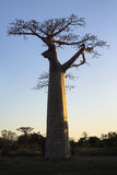 Sunset and baobabs trees. Madagascar Royalty Free Stock Image