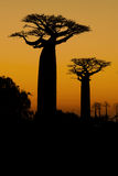 Sunset and baobabs trees Royalty Free Stock Photos