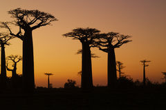 Sunset and baobabs trees. Madagascar Royalty Free Stock Photography