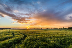 Sunset in barley field. Sundown viewed from a field in Finnish countryside Royalty Free Stock Photo