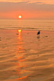 Sunset and beach. Sunset and belgian beach with seagull in front Royalty Free Stock Image