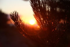Sunset on beach, pines, sea Royalty Free Stock Images