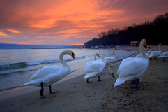 Sunset beach swans stock image