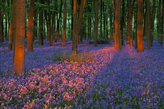 Sunset in a beautiful bluebell wood Royalty Free Stock Images