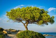 Greek pine tree stock images