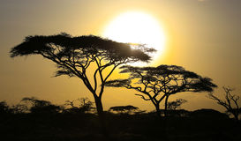 Sunset behind Acacia trees Stock Photography