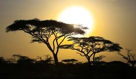 Sunset behind Acacia trees. Bright sun setting behind two acacia trees in Tanzania Stock Photography