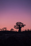 Sunset in behind Baobab Tree, South Africa Royalty Free Stock Images