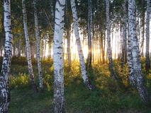 Sunset behind grove birch. Green nature forest grove tree birch Royalty Free Stock Image