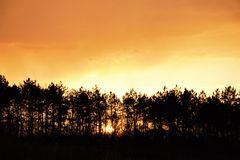 Sunset. Behind a large pine forest royalty free stock photo