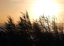 Sunset behind the reeds Royalty Free Stock Image
