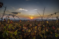 Sunset behind vineyards Stock Image
