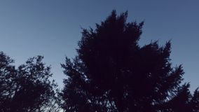 Sunset and big pine tree.. Steadicam. Smooth camera motion. Night shot. Camera tilt down. Steadicam shot stock video footage